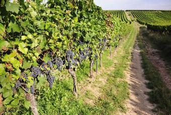 Wijnbouw Duitsland Druiven