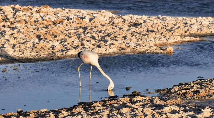 Flamingo op de zoutvlakten, San Pedro de Atacama