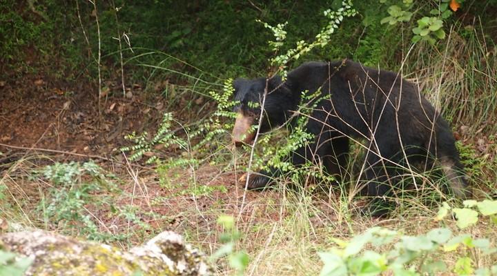 De sloth bear