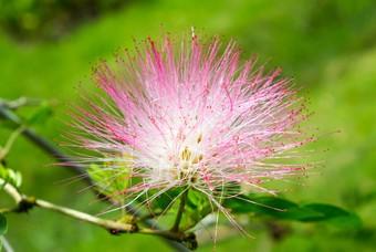 Roze powerpuff bloem, natuur Suriname