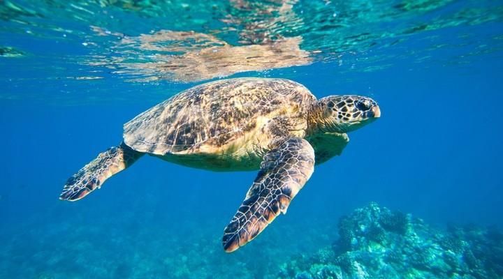 Schildpad in de Caribische Zee