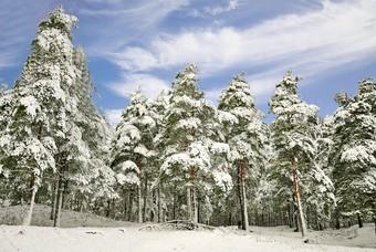Besneeuwde bomen tijdens de winter in Polen