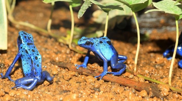 Blauwe pijlgifkikker in Suriname