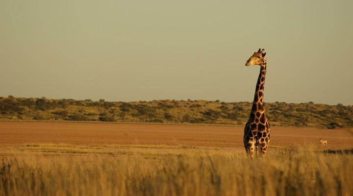wilde giraffe, natuurpark Namibië
