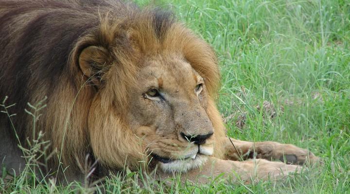 Leeuw aan het rusten