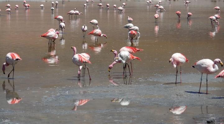 en nog meer flamingo's