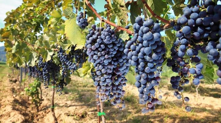 Blauwe druiven, druivenstruik, wijn