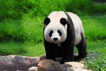 Pandabeer in Chengdu