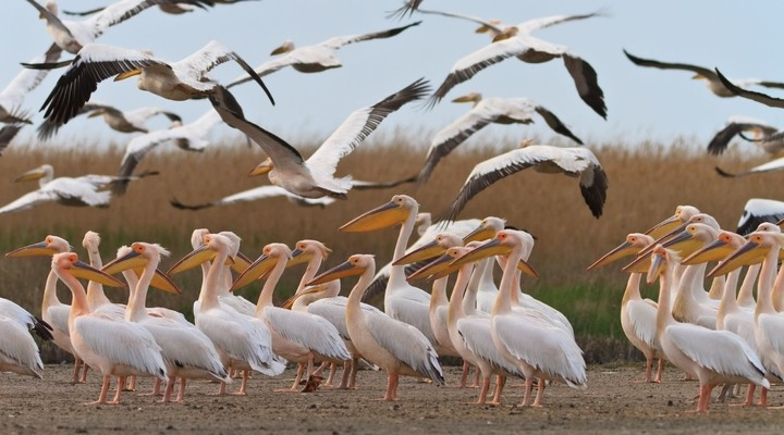 Pelikanen in de Donaudelta
