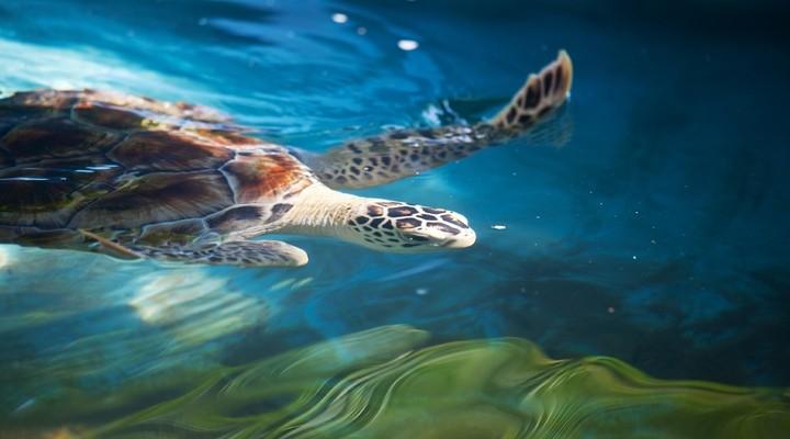 Zeeschildpad in Sri Lanka