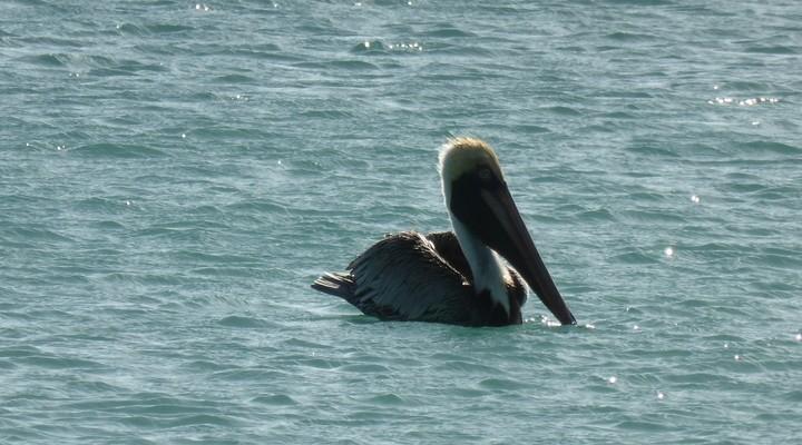 Pelikaan drijvend op de zee