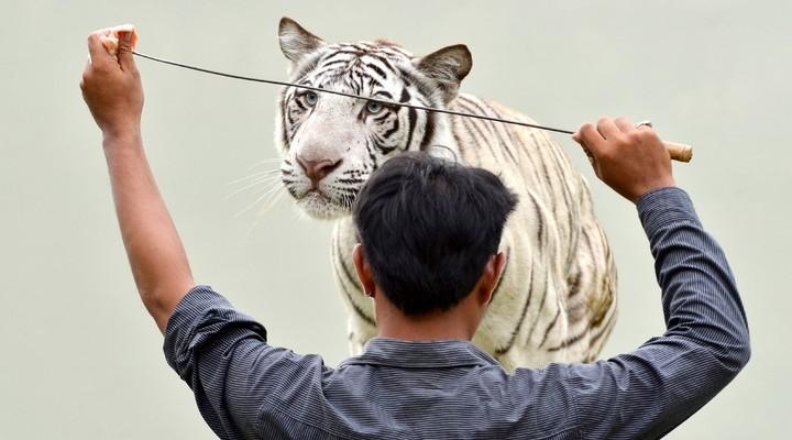 Een tijger tijdens een van de shows