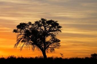 Acacia Zuid-Afrika Kalahari-woestijn