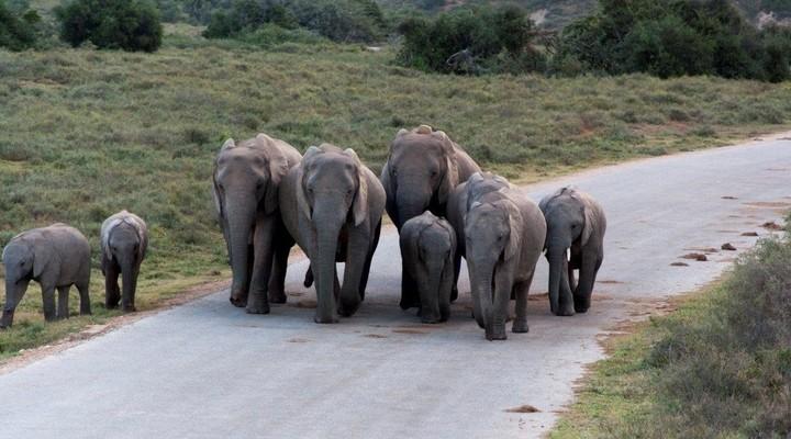 De kudde met olifanten
