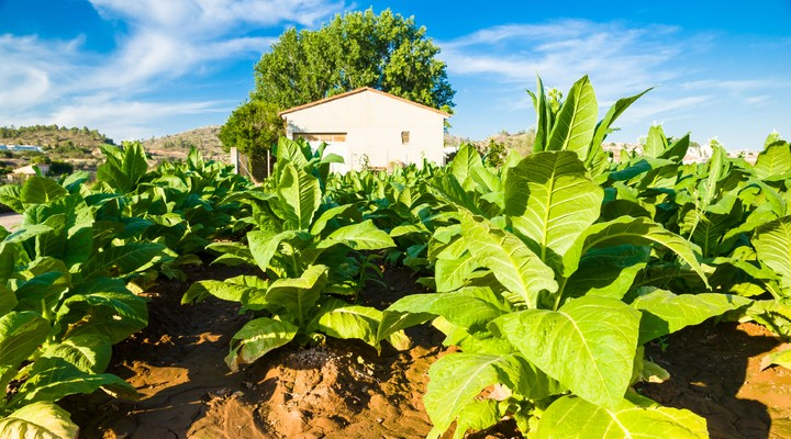 Tabakplant Cuba
