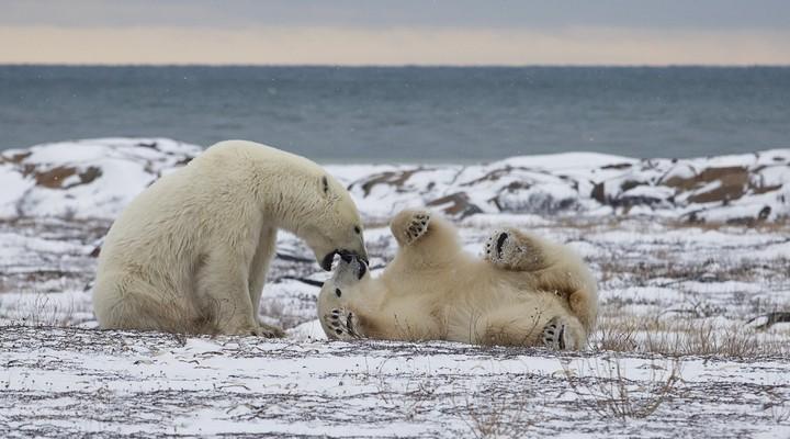 Spelende ijsberen in Churchill, Canada