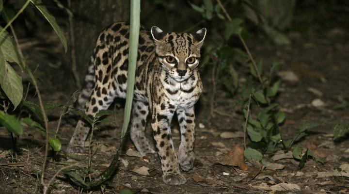 Margay (ofwel tijgerkat)