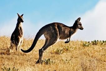 Kangaroo Australië