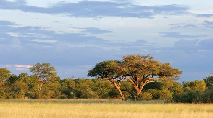 Acaciaboom Zimbabwe