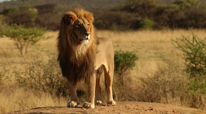 Leeuw Wild Zuid-Afrika