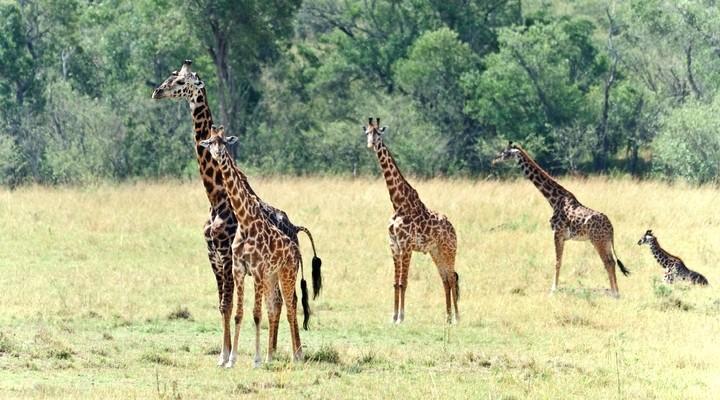 Giraffen in Uganda