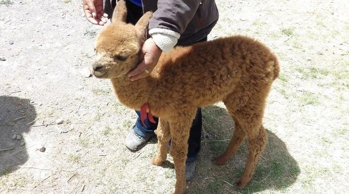Paco de baby alpaca