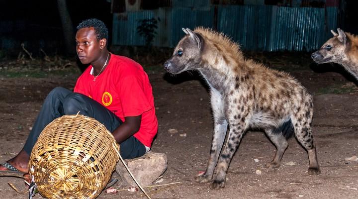 Hyena's voeren
