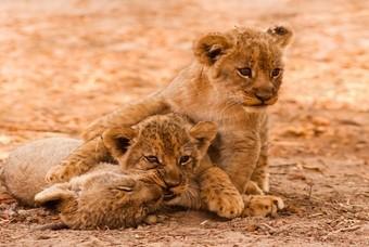 Leeuwenwelpen in Kruger Nationaal Park