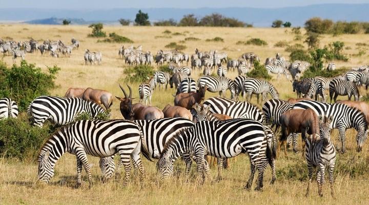 De grote trek in Kenia