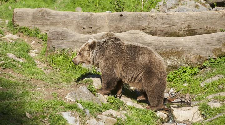 Wist jij dat deze beer veel voorkomt in Slovenië?