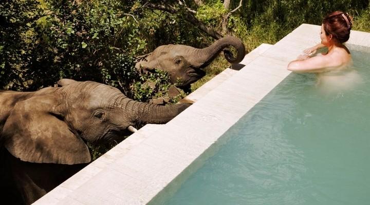 Olifanten drinken uit het privé zwembad van de Royal Malewane Lodge