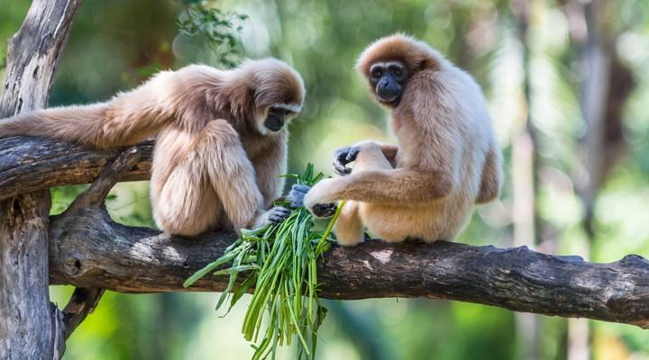 Apen in Maleisië