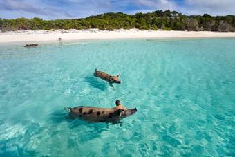 Zwemmende varkens Bahamas