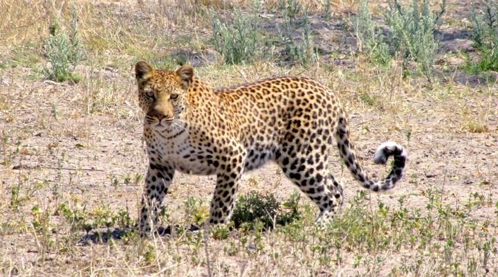 Jaguar Maun Botswana