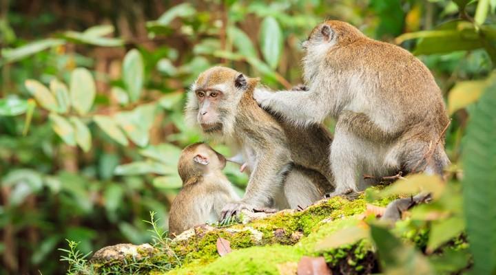 Apen in Bako National Park