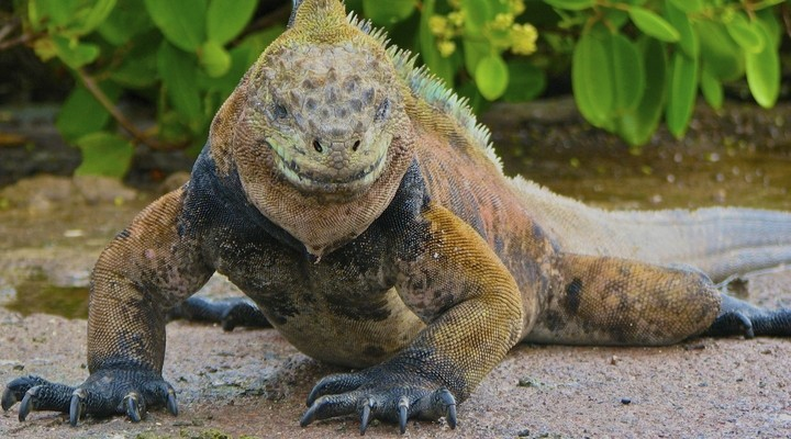 Iguana, Ecuador
