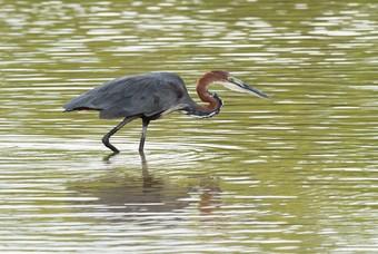 Tropische vogel in de Gambia River