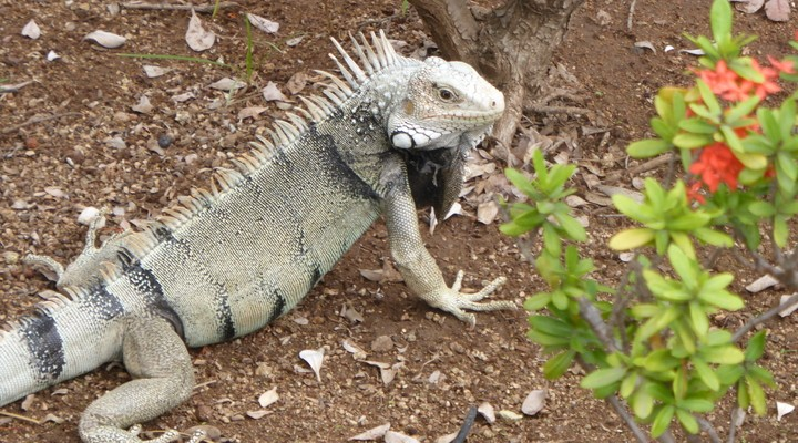 Iguana Iguana's
