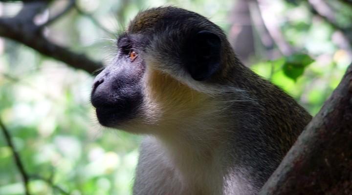 Aap in een boom in Gambia