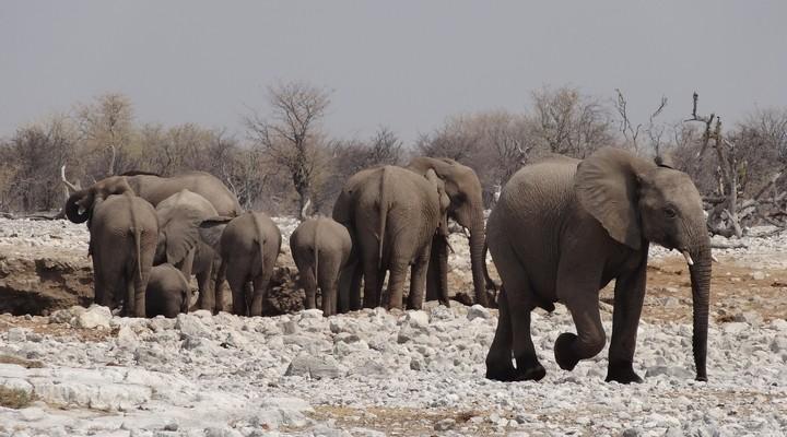 Olifanten Etosha Zuid