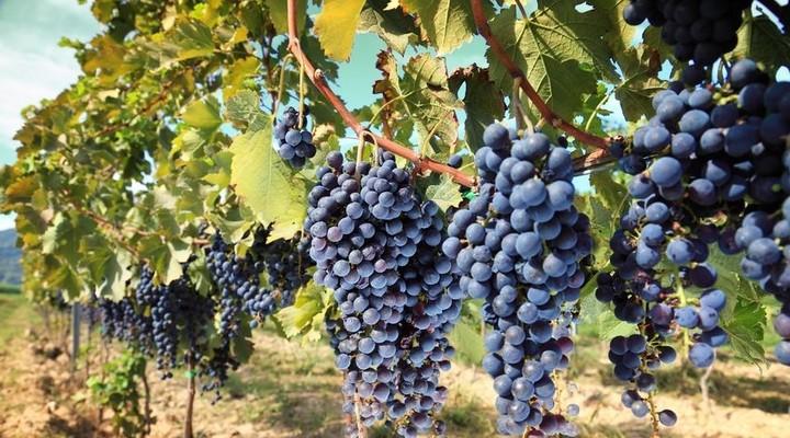 Franse druivenstruiken