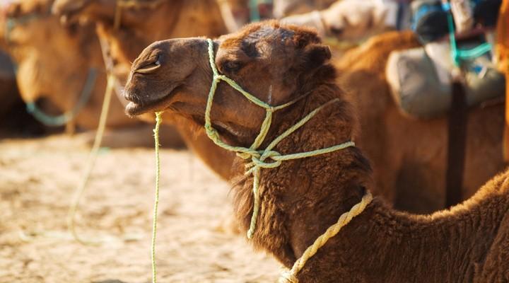 Kameel in Tunesië