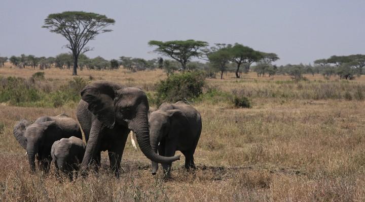 Olifanten in de Serengeti, Tanzania