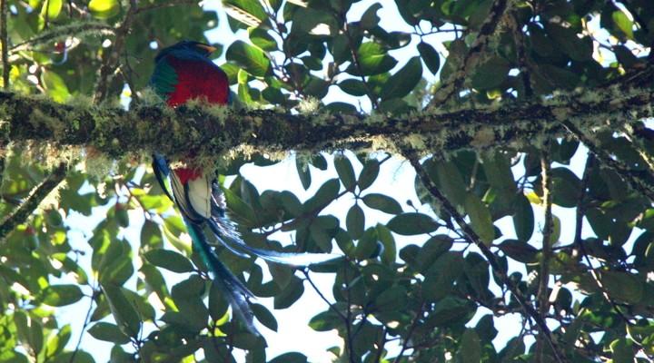 De mannetjes quetzal