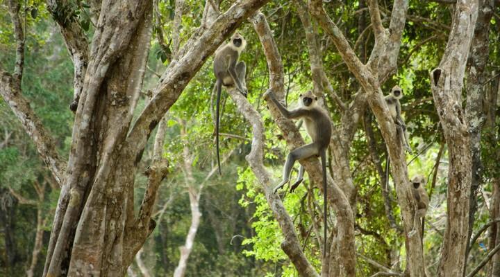 Apen in het Wilpattu National Park