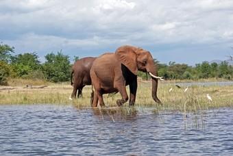 Olifant Kariba meer Zimbabwe