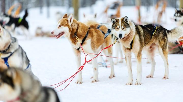 Een huskysafari in Lapland