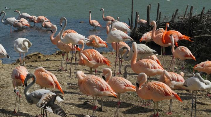 Flamingo's op de Bahamas