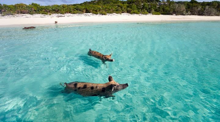 Met varkentjes zwemmen op Pig Beach