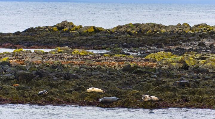 Zeehonden op de rotsen bij Surtsey